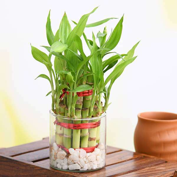 Gift 2 Layer Lucky Bamboo in a Round Glass Vase for Prosperity - Nurserylive