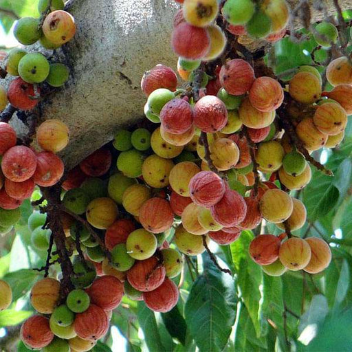 Goolar, Umber Tree for Kritika Nakshatra, Aries or Mesh Rashi - Plant - Nurserylive