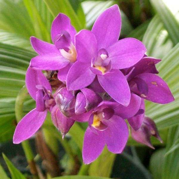 Ground Orchid, Spathoglottis Plicata (Purple) - Plant - Nurserylive