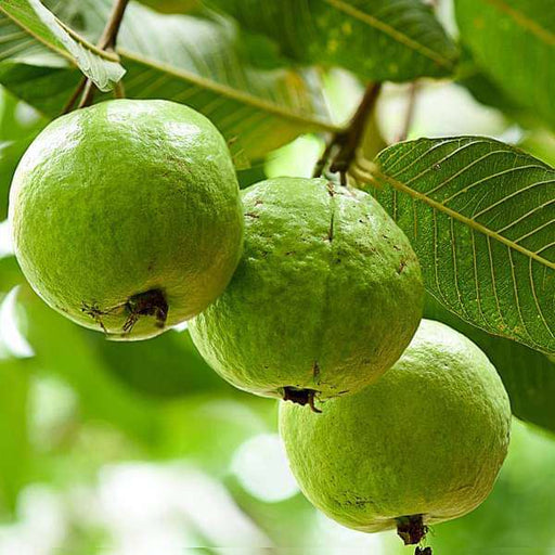 Guava Tree, Amrud, Psidium guajava (Sardar L49, Grown through seeds) - Plant - Nurserylive