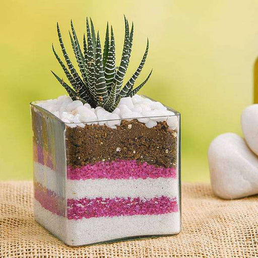 Haworthia in 3 inch (8 cm) Glass Vase and Pink Sand Decoration - Nurserylive