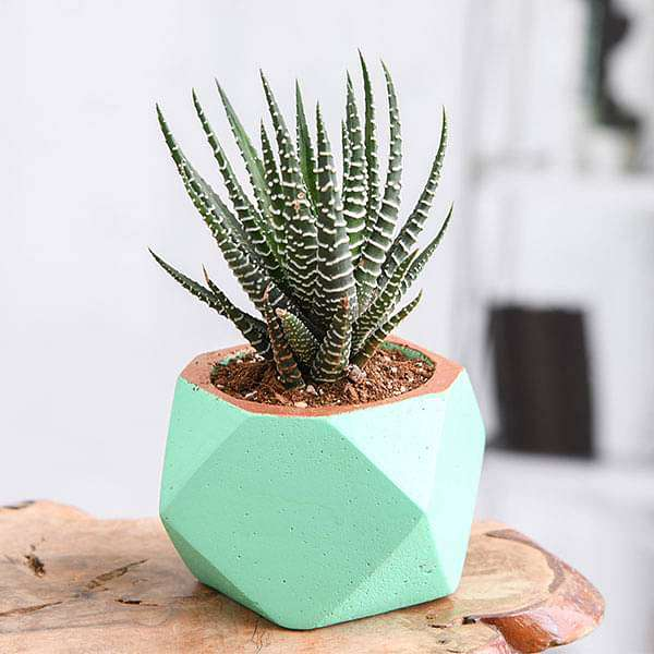 Haworthia in Small Green Octave Concrete Pot