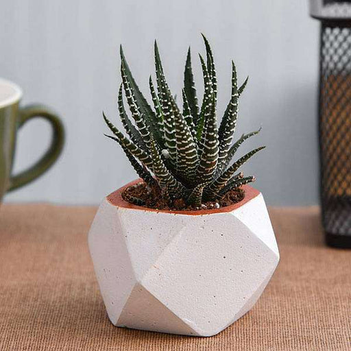 Haworthia in Small White Octave Concrete Pot - Nurserylive