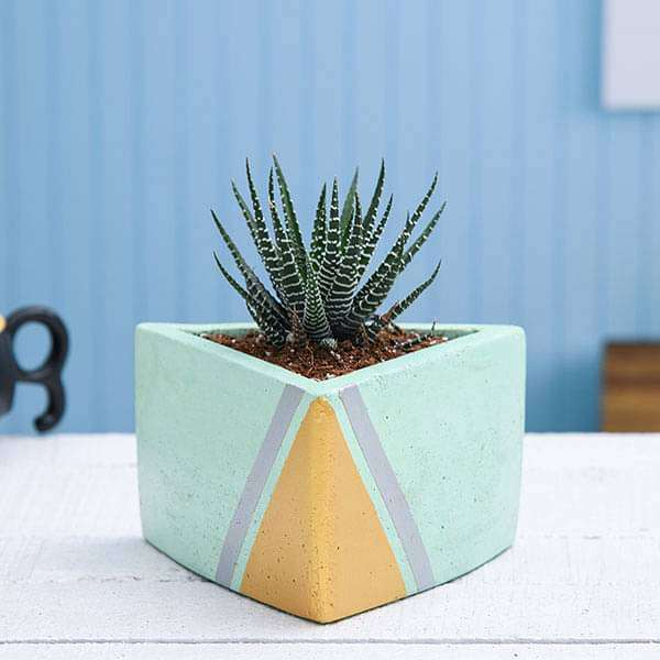 Haworthia White Pearl Plant in Triangle Concrete Pot - Nurserylive