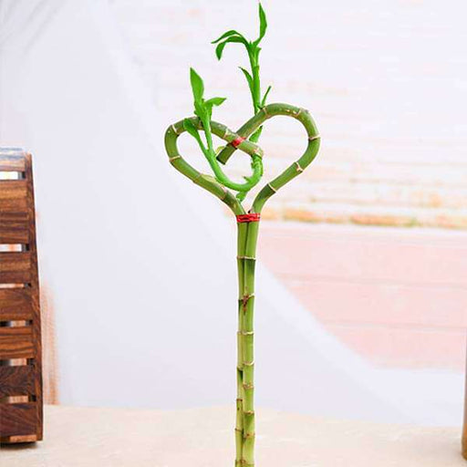 Heart Arrangement Lucky Bamboo Plant - Nurserylive