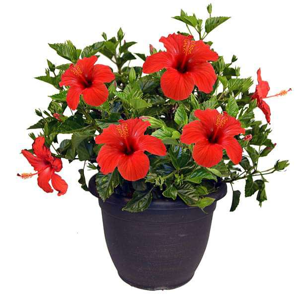 Hibiscus, Gudhal Flower (Hybrid, Any Color) - Plant - Nurserylive