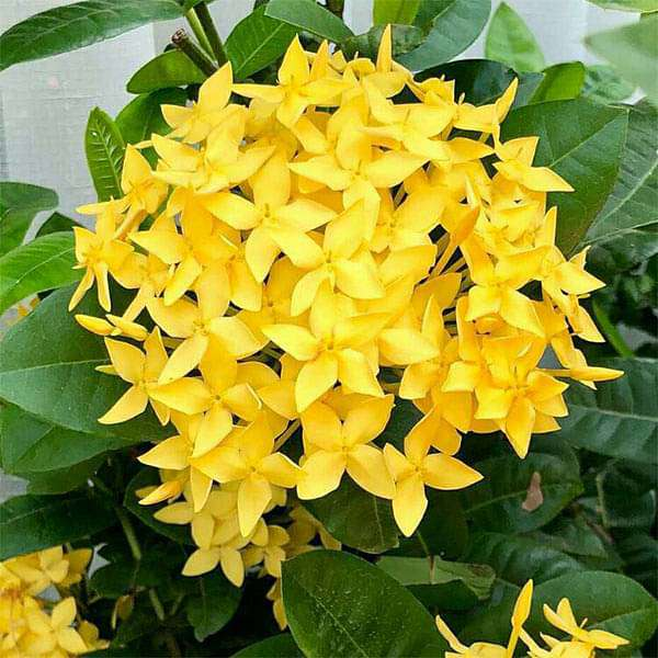 Ixora Long, Singapuri Ixora (Yellow) - Plant - Nurserylive