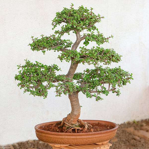 Buy Jade Bonsai Formal Upright Style Plant Online From Nurserylive At Lowest Price