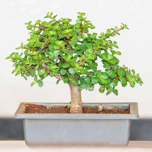 Jade Bonsai - Plant - Nurserylive