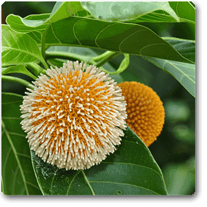 Kadamba, Tree of Satabisha Nakshatra, Aquarius or Kumbha Rashi - Plant - Nurserylive