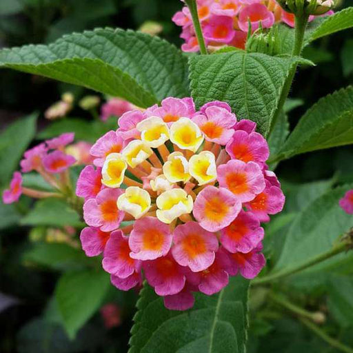 Lantana camara (Any Color) - Plant - Nurserylive