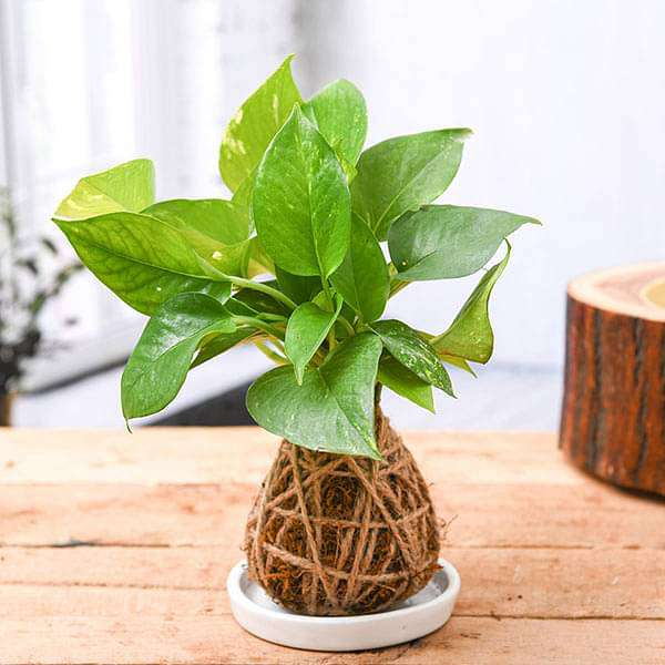 Low Maintenance Money Plant Kokedama with Ceramic Plate - Nurserylive