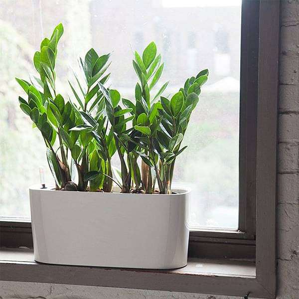 Low Maintenance ZZ Plant in a Plastic Planter - Nurserylive