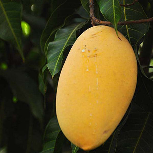Mango Tree (Alphonso, Grafted) - Plant - Nurserylive