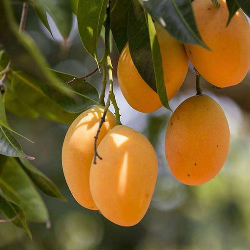 Mango Tree (Grown through seeds) - Plant - Nurserylive