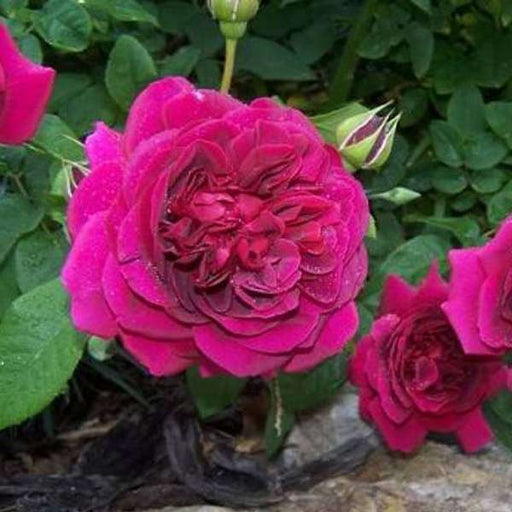Miniature Rose, Button Rose (Dark Pink) - Plant - Nurserylive
