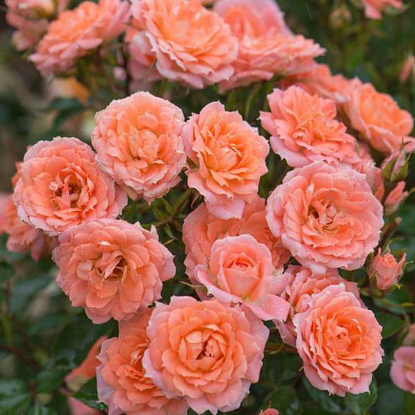 Miniature Rose, Button Rose (Peach) - Plant - Nurserylive