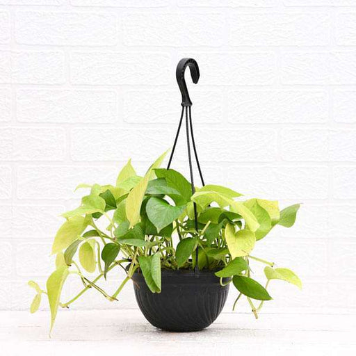 Money plant golden, Scindapsus golden (Hanging Basket) - Plant - Nurserylive