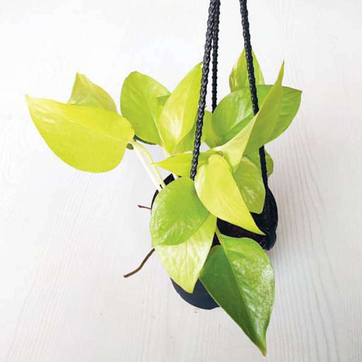 Money plant golden, Scindapsus golden (Small, Hanging basket) - Plant - Nurserylive