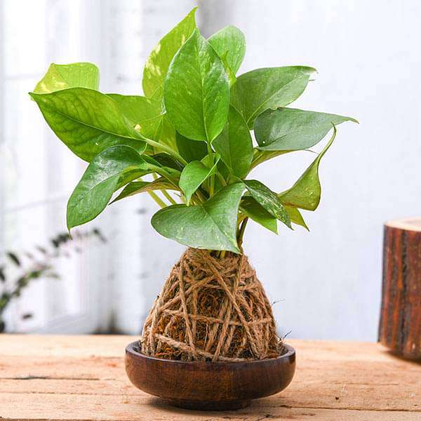 Money Plant Kokedama with Wooden Saucer - Nurserylive
