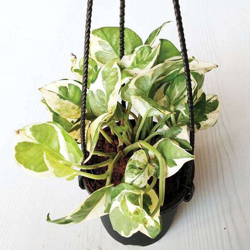 Money plant marble prince, Scindapsus n joy (Small, Hanging basket) - Plant - Nurserylive