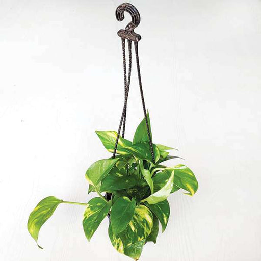 Money plant, Scindapsus Green (Small, Hanging basket) - Plant - Nurserylive