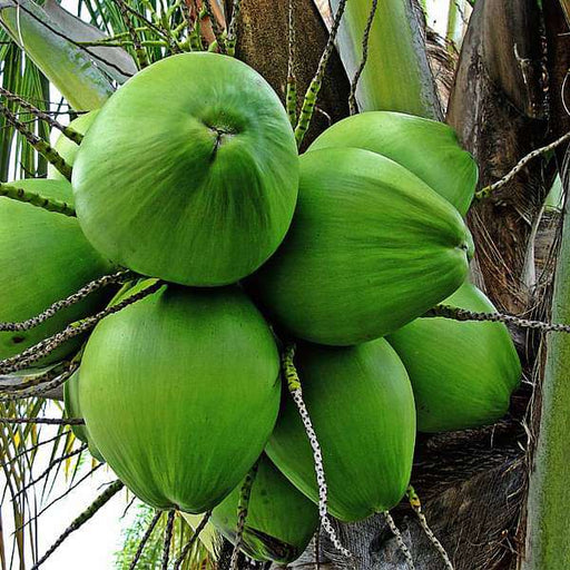 Nariyal, Coconut Tree (Green, Grown Through Seeds) - Plant - Nurserylive