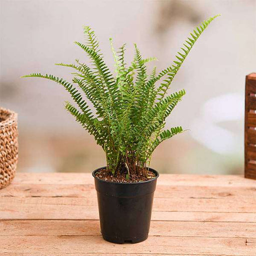 Nephrolepis Exaltata Teddy Junior (Green) - Plant - Nurserylive