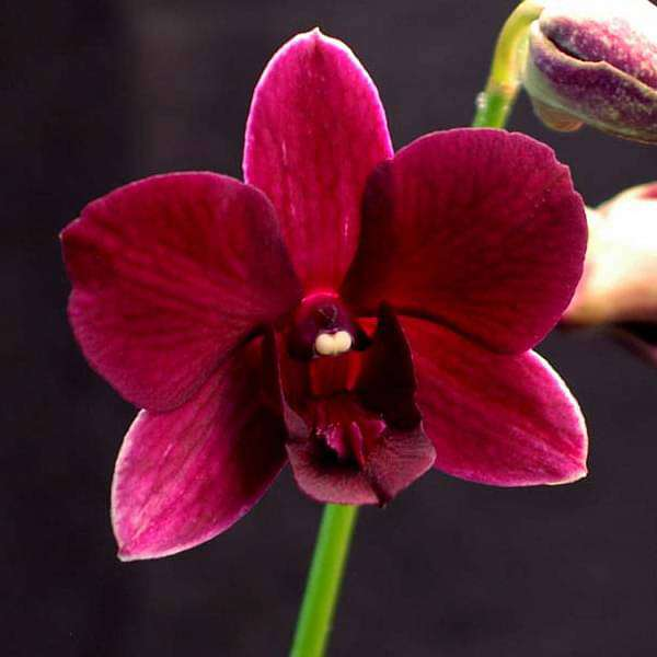 Orchid Plant, Dendrobium Orchid (Winter Wine) - Plant