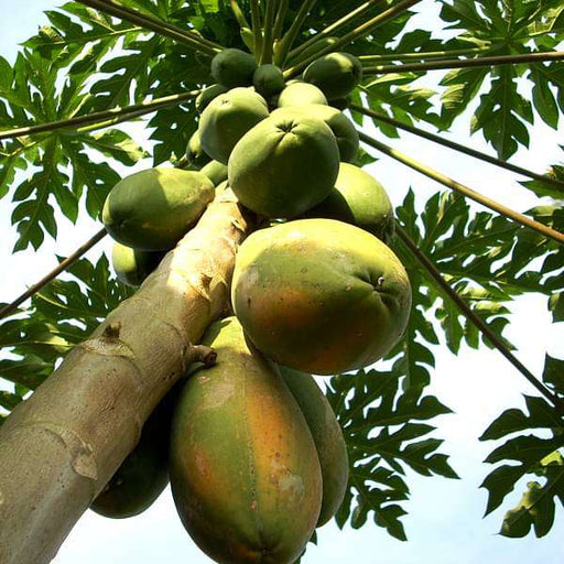 Papaya, Papita ( Grown through seeds ) - Plant - Nurserylive