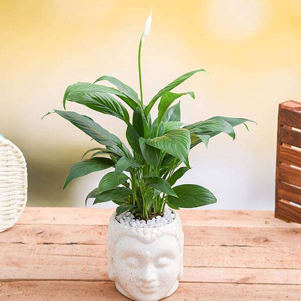 Peace lily in Ceramic Buddha Planter - Nurserylive
