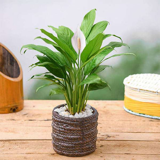 Peace Lily in Rope Design Round Ceramic Pot - Nurserylive
