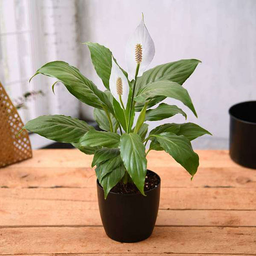 Peace Lily, Spathiphyllum in a Colorful Pot - Nurserylive