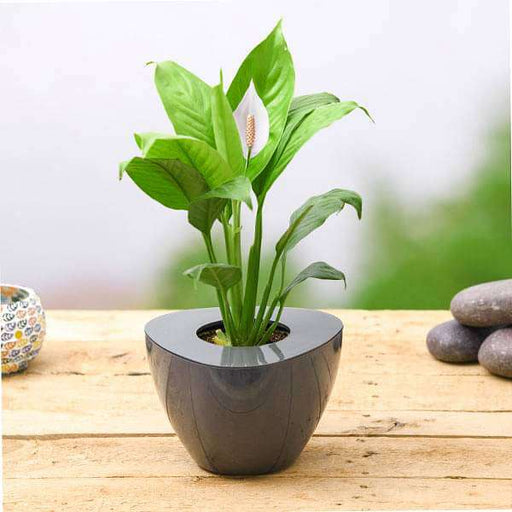 Peace Lily, Spathiphyllum in Triangle Small Pot - Nurserylive