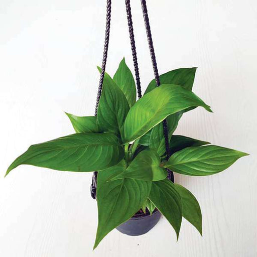Peace Lily, Spathiphyllum (Small, Hanging basket) - Plant - Nurserylive