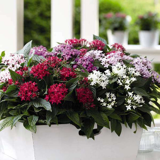 Pentas (Any Color) - Plant - Nurserylive