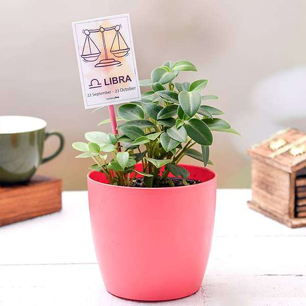 Peperomia in a Colorful Pot - Nurserylive