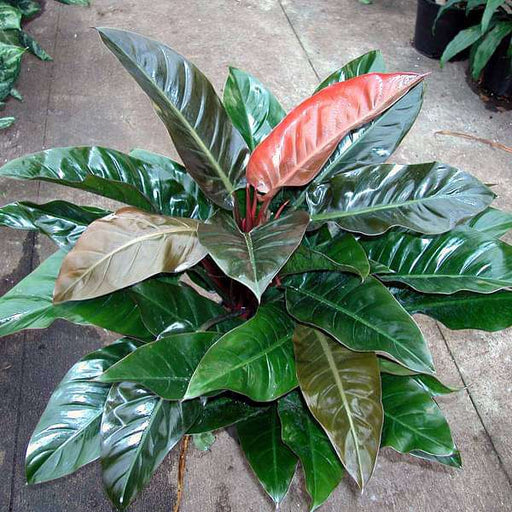 Philodendron Red - Plant - Nurserylive