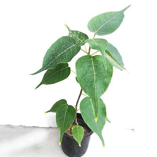 Pipal, Tree of Pushya Nakshatra, Cancer or Kark Rashi  - Plant - Nurserylive