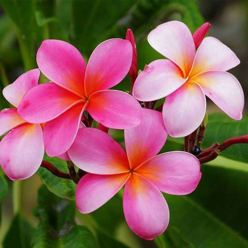 Plumeria, Champa (Any Color) - Plant - Nurserylive
