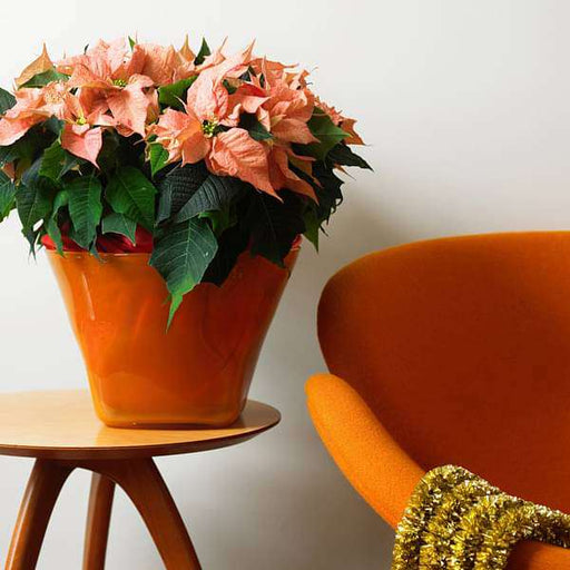 Poinsettia (Orange) - Plant - Nurserylive