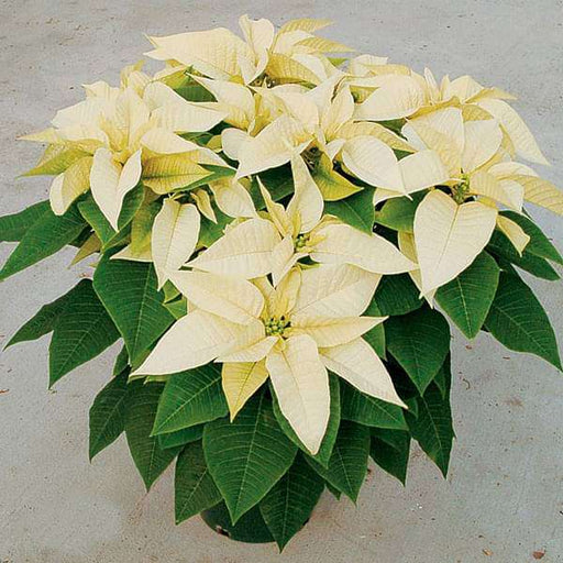 Poinsettia (Yellow) - Plant - Nurserylive
