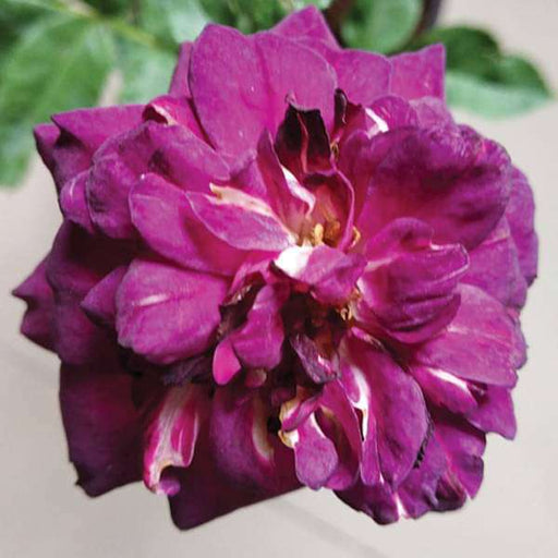 Rose (Purple) - Plant - Nurserylive