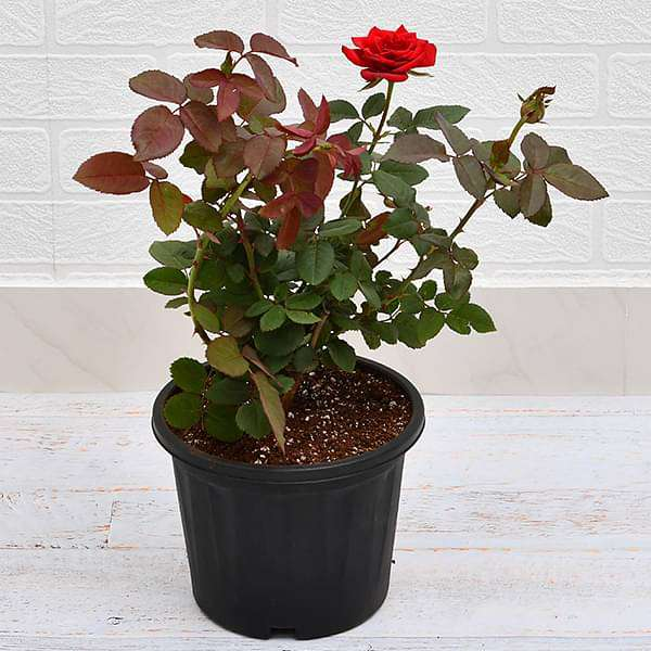 Rose (Red) - Plant - Nurserylive