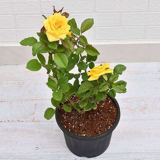 Rose (Yellow) - Plant - Nurserylive