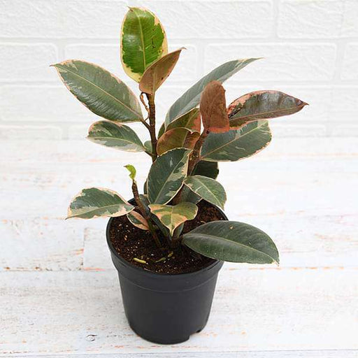 Rubber Tree, Rubber Plant, Ficus elastica (Ruby, Pink) - Plant - Nurserylive