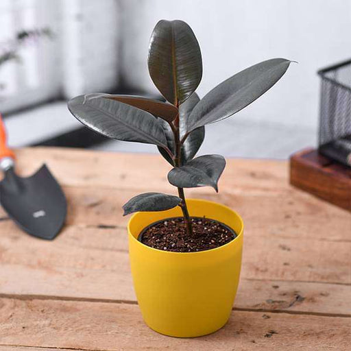 Rubber Tree, Rubber Plant, Ficus elastica (Small) - Plant - Nurserylive