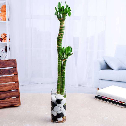 Set of 2 Multidrop Lotus Tiger Sticks Lucky Bamboo in a Glass Vase with Pebbles - Nurserylive