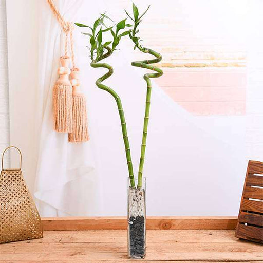 Set of 2 Spiral Sticks Lucky Bamboo in a Square Glass Vase with Pebbles - Nurserylive