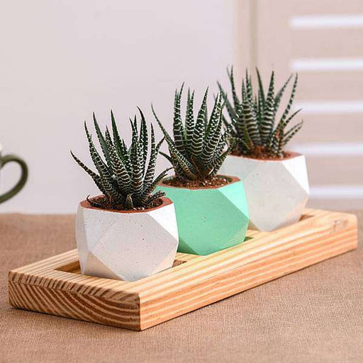 Set of 3 Haworthia in Octave Pot with Plate - Nurserylive